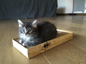 Cucciolo di Gatto Siberiano Femmina