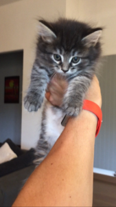 Cucciolo di Gatto Siberiano Maschio