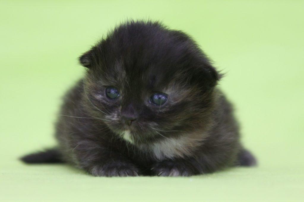 Cuccioli disponibili Gatto Siberiano in provincia di Genova