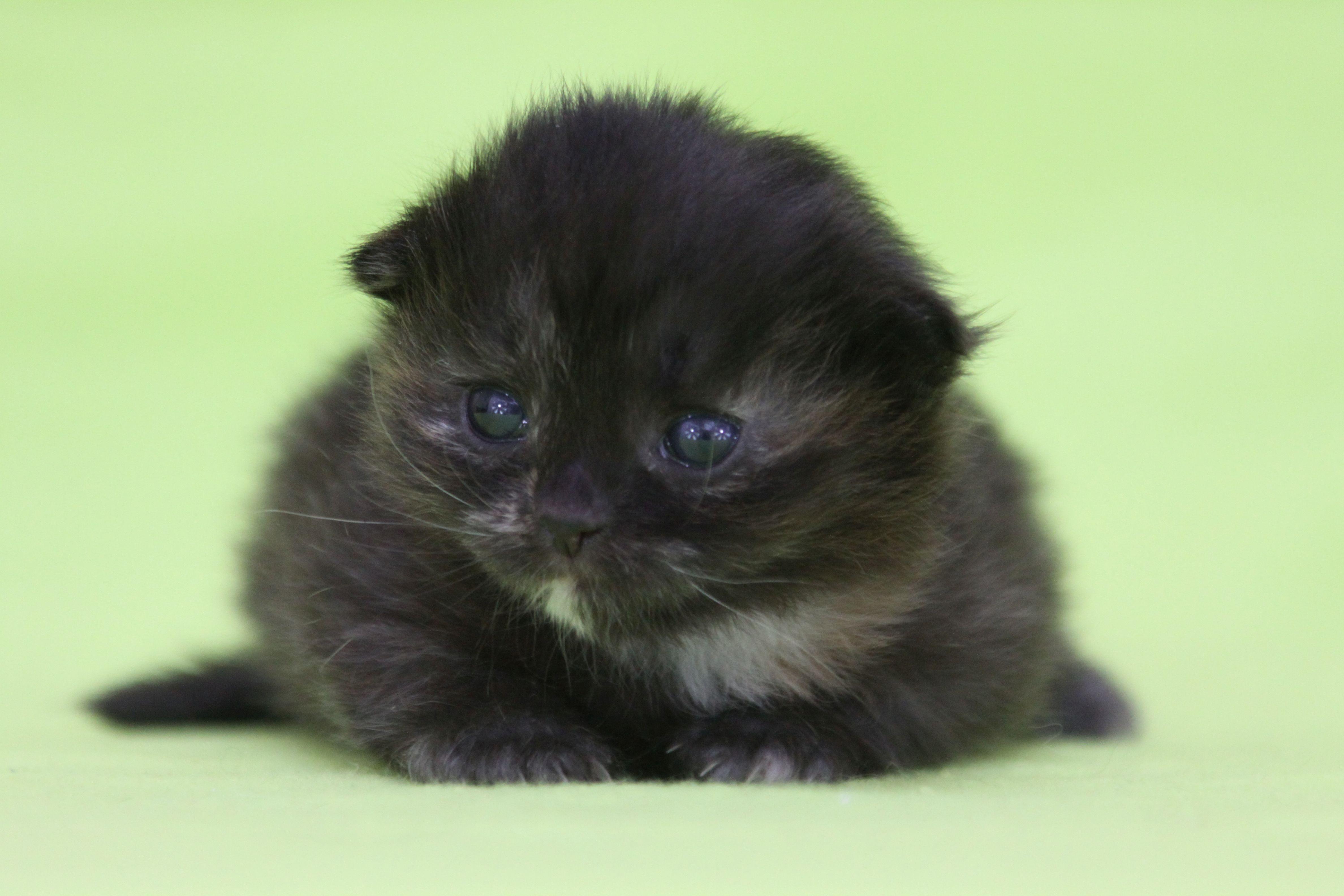 Cuccioli Di Gatto Siberiano Disponibili