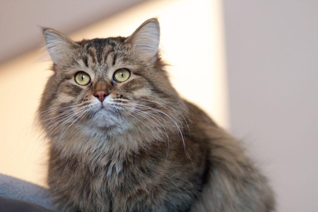 Il Gatto Siberiano Principali caratteristiche