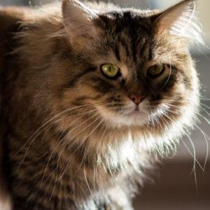 Ipoallergenicità del Gatto Siberiano