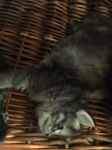 cucciola silver tabby di gatto siberiano