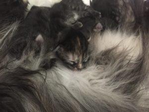 cucciolo di pochi giorni di gatto Siberiano