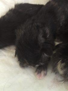 cucciolo di Gatto Siberiano
