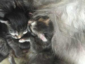 cucciola gatto siberiano