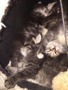 cuccioli di gatto siberiano dormono