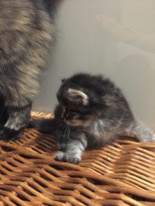 cucciolo di gatto siberiano maschio silver