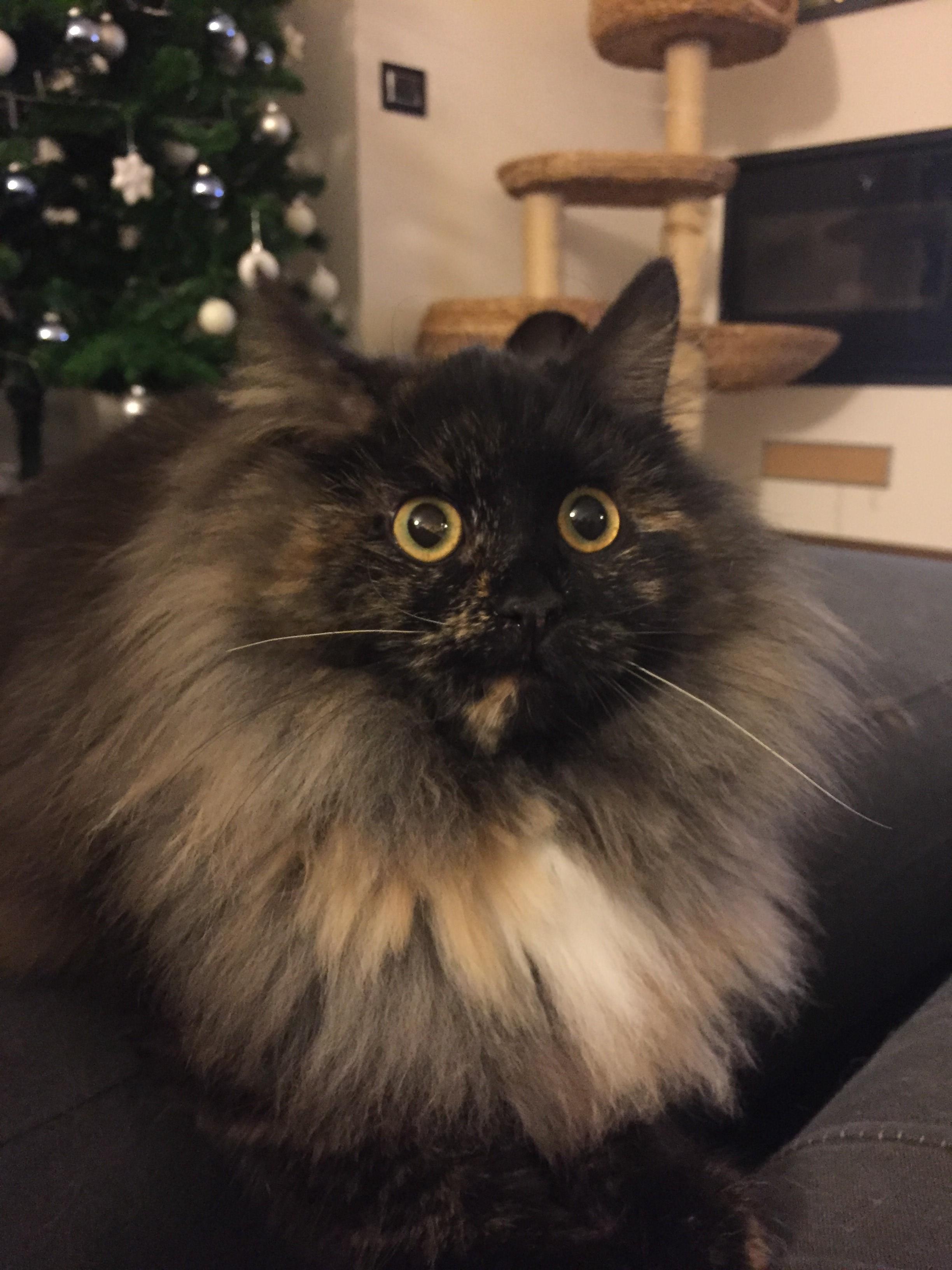 Cuccioli Disponibili Di Gatto Siberiano