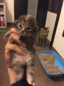 Cucciola di Gatto Siberiano a 2 settimane